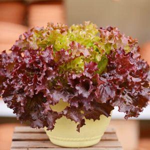 Gartensalat Samen, Coleus Salat Gemüsesamen, Original Package Saatgut Gemüse über 100 Partikel