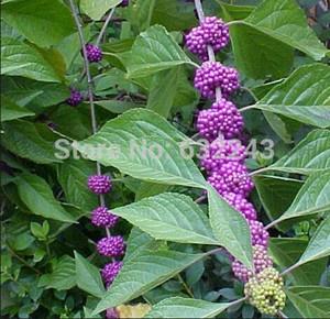 DIY Home Garden Plant 30 Seeds American Beautyberry Callicarpa americana Fruit Seeds Free Shipping