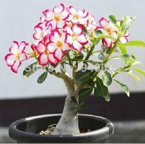 20 seeds / pack Bonsai Flowers New Absorption of Formaldehyde Colorful Desert Rose Seeds semi di adenium obesum