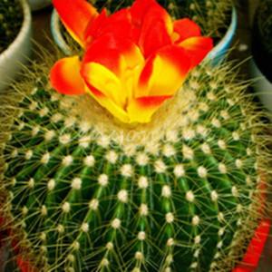 Nuovo Arrivo 10 pz / lotto misto cactus Echinopsis Palla Cactus Perenne Piante grasse ufficio Mini pianta succulenta piantagione ordine $ 18no pista