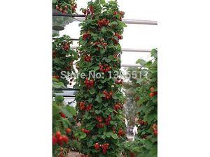 300 Graines de Fraise Rouge Grimpantes très grandes et délicieuses, Légumes Heirloom et graines de fruits