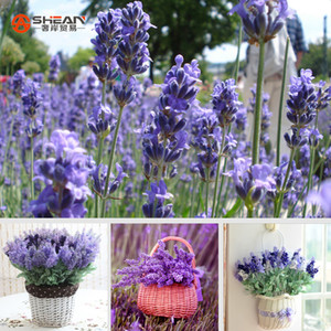 Englisch Lavendel Samen, Lavendel Angustifolia, importierte Vanille Samen der einheimischen Arten - 20 Stück Samen