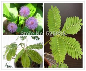 Bashfulgrass Seeds,Mimosa pudica Linn, Foliage Mimosa pudica Sensitive - 30 Seed particles
