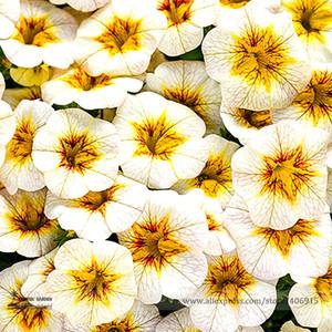 Rare Superbells Frostfire Calibrachoa Petunia Semillas de flores anuales, paquete profesional, 100 semillas / paquete, gran flor en flor