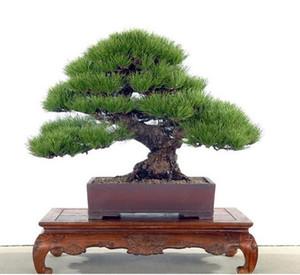wholesale !!50pcs Japanese pine tree seeds, Pinus thunbergii seeds, bonsai seeds DIY home garden