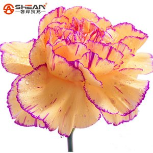 A Pack 200 Pcs Yellow&Purple Edge Carnation Seeds Balcony Potted Courtyard Garden Plants Seeds Dianthus Caryophyllus Flower Seed