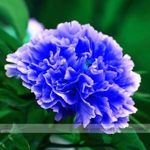 """1 confezione professionale, 5 semi / confezione, doppio albero di peonia blu chiaro, """"nobile"""" pianta di albero di peonie nobile # NF524"""