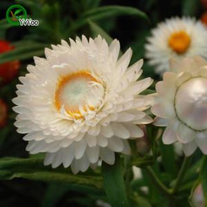 믹스 헬릭 룸 씨앗 프로모션 발코니 분재 꽃 씨앗 꽃 식물 50 PC Q040