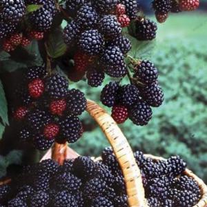 Semi di mora di alta qualità e more albero di frutta semi di gelso semi di frutta nutrizione sana - 300 pz