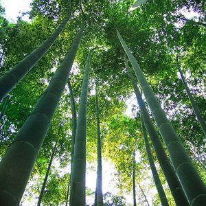 1000 semillas de bambú Moso Phyllostachys Pubescens semillas de bambú gigante envío gratis