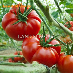 Super Giant Pumpkin Tomato Seeds, 100 Seeds, Comestible Organic Fruit Seeds Garden Vegetable Plants