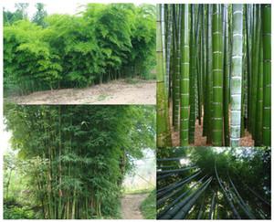 500 Moso Bambus Samen Phyllostachys Pubescens Giant Bamboo Seeds Lot von 500 SEEDS Kostenloser Versand