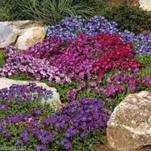 Rock Cress Seeds - Royal Mix (Aubrieta Hybrida) Compatto, copertura a terra Decorazione giardino Pianta 50pcs P02