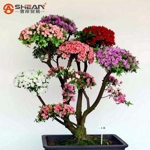 200 Pçs / saco Rare Bonsai Rainbow Azaléia Sementes Parece Sakura Japonês Cereja Floresce Sementes Azáleas Coloridas