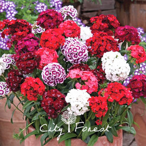 Karışık Renk Dash Dianthus Tatlı William Çiçek 500 Tohumlar Süper Büyümek Kolay