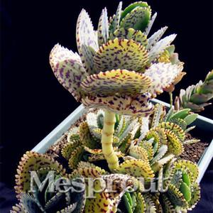 Semillas De Flores 100 Edo semi di porpora Kalanchoe marmorata Succulente semi di pietra grezza di cactus Gambi Tetragonia Fiori in vaso