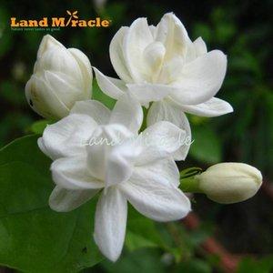 10 adet / paket, beyaz Yasemin tohumları nadir bonsai çiçek Ev Bahçe için Çok Yıllık Bitki Güzel entelektüel kapalı w / Güçlü Kokulu