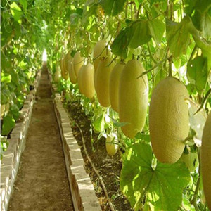 Cantalupo Miele Melone Semi di rugiada Green Flesh Great Heirloom Vegetable 30 Seeds T075