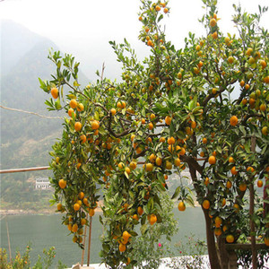Rare Orange Seeds Organic Tree Orange Tree Seeds Home Garden Fruit Plant 30pcs Bonsai Seeds, Può essere mangiato! S006