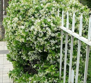 "Gypsophila Seeds Gypsophila ""Convent Garden"" Baby's Breath 150 Flower Seeds Cottage Garden Outdoor Garden Silk Plants Greenhouse"
