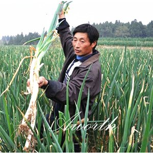Gigante cinese Cipolla di verdure 200 semi di cucina popolare cipolle varietà di facile coltivazione Heirloom Vegetable Seed