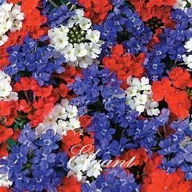 Verbena Hybrida Blume Mix Color 100 Samen leicht wachsenden Hardy Annual Bonsai Gartenpflanze