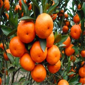 30 adet / torba Turuncu Tohumları Ev Bitki Lezzetli Meyve Tohumları Ev Bahçe Bitki S004 için Çok Büyük ve Tatlı