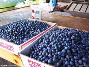 200 semillas de fruta de arándano gigante americano Germinación 95% +