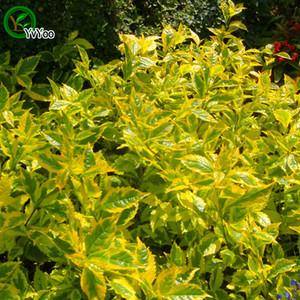 Yeşil Coleus Tohumları Saksı Yetiştiricilerinin Bahçe Bonsai Çim Tohumu 30 Parçacıklar / lot w002