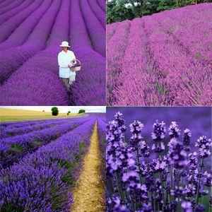Topfblumen Provence Lavendel Lavendel Blumensamen Kanariensaat Lavendel Samen Kräutergarten Samen 100 Stück pro Los HY00864