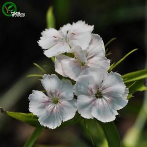 Dianthus tohumları Promosyon Balkon Bonsai Çiçek Tohumları Çiçekli Bitkiler 100 adet s001