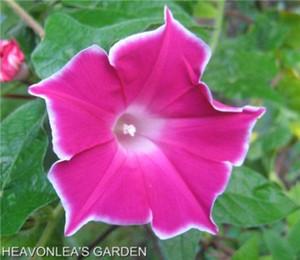 Tırmanma Asma Morning Glory Kırmızı Picotee Yıllık Çiçek Tohumları * Yakında Başlangıç * Bahçe Dekorasyon Çiçek 20 adet D87