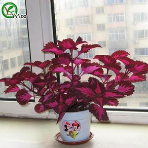 Lila Coleus Samen Grassamen Bonsai-Pflanze für Hausgarten 30 Partikel / Los W005