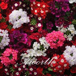 Verbena Hybrida Flower Mix Color 100 Samen / Beutel Einfach aus Samen zu züchten. Ideal für Fensterboxen, Rahmen und Steingärten