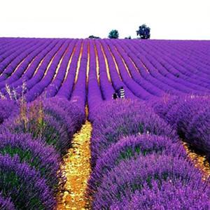 Graines de lavande pourpre graines de fleurs plante de bonsaï d'intérieur 50 particules / lot T010