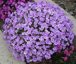 Aubretia Gracillis - Rock Cress Seeds- Royal Blue Garden Decoration Flower 50pcs M15