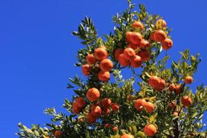 TANGERINE Semi di Mandarino Arancio Agrumi Semi di Albero decorazione del giardino pianta 30 pz D11