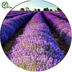 Lila Lavendel Samen Bonsai Blume für Zimmer Zimmer Samen 50 Partikel / lotT010