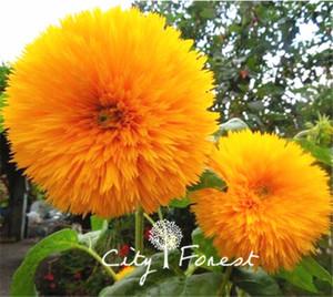 Ayçiçeği 50 Adet Çiçek Tohumları / Çanta Çift Blooms Kolay Tohumlar Güçlenmeye