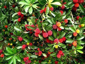 waxberry 10 Particules / Sac Arbutus Unedo Fraises Délicieuses Graines De Fruits Chinois Pour Un Jardin Sain Et Facile À Grandir