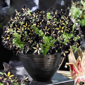 10 Stück Farbe Star Petunia Seeds Garten und Terrasse Topfpflanze Morning Glory Seeds Balkon Petunie Blumen