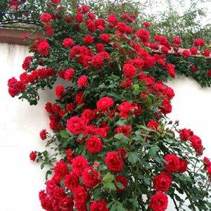 50 semi dell'albero della Rosa rossa, colore luminoso splendido, giardino domestico di DIY in vaso, pianta del fiore dell'iarda del balcone Trasporto libero