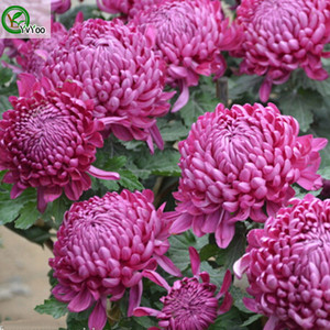 Bellissimo Red China Aster Seeds Seeds Seeds Bonsai Plant per il giardino domestico 30 particelle / lotto W022