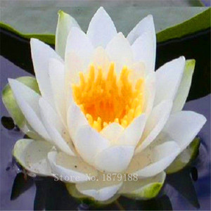 Multi color optional Lotus Samen Bonsai Balkon Blume Topf Samen DIY Hausgarten 10 Partikel / lot L097