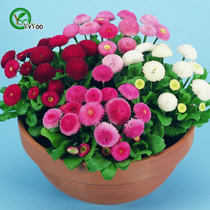 Mix Daisy Seeds Bonsai Flower for Indoor Rooms Seed 50 Particles   lot H020