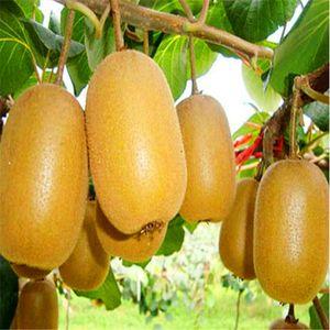 50 PCS Kiwi Graines Plantes Vivaces Arbre Fruitier Anti50aging Graines De Fruits pour La Maison Jardin T008