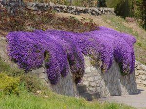 Rock Cress Seeds Cascade Mix - Aubrieta Culturum Hybrida Garden Decoration Flower 40pcs A027