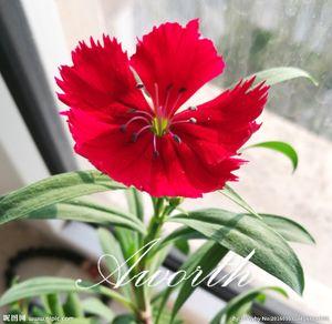 Dianthus Cüce Çiçek Tatlı William 200 Tohumları / Çanta Karışık Renk Çok Yıllık Çiçek Nadir Çeşitli Tohumları Büyümek Kolay