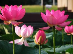 Bonsai Lotus / Seerose Blume / Bowl-Pond Lotus Samen Pink Lady Lotus Gartendekorationspflanze 10 Stück F135