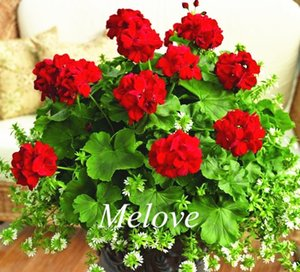 Gerânios Cor Vermelha 20 Pçs. Sementes de Flores Fáceis de cultivar a partir de sementes de Flores Perenes